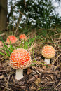 Colorful fly agaric buttons closeup more and less mature growing in the wood Stock Photo
