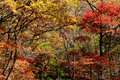 Colorful forest maple leaf background in autumn liaoning china Royalty Free Stock Image