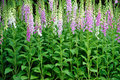 Colorful foxglove flowers Stock Image