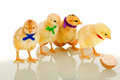 Colorful gang - small chicks with scarves Royalty Free Stock Photography
