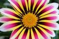 Colorful Gazania flower Royalty Free Stock Photo