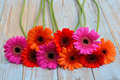 Colorful gerber daisies on a old wooden shelves background with empty copy space row of orange red pink grey Stock Photos