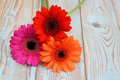 Colorful gerber daisies on a old wooden shelves background with empty copy space three orange red pink grey Stock Images