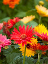 Colorful gerbera daisies during spring Stock Images