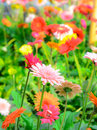 Colorful gerbera flowers on a meadow. Royalty Free Stock Photo