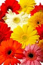 Colorful Gerberas Stock Images