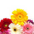 Colorful gerberas isolated on white Stock Image