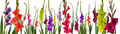 Colorful gladiola flowers Royalty Free Stock Photo