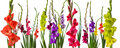 Colorful Gladiola Flowers