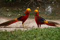 Colorful Golden Pheasant Royalty Free Stock Photo