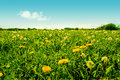 Colorful green dandelion field with many flowers high resolution photo in best quality Stock Images