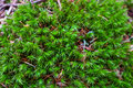 Colorful green moss texture. Photo depicting a bright bushy myst