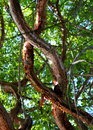 Colorful Gumbo Limbo tree branches entwined in Islamorada in the Florida keys Royalty Free Stock Photo