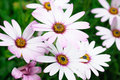 Colorful hardy cape daisies light and bright horizontal Stock Images