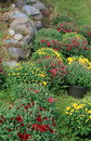 Colorful hardy mums in planters rows of set next to an old stone wall Stock Photos