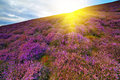Colorful hill slope covered by violet heather flowers. Royalty Free Stock Photo