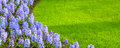 Colorful hyacinth flowers blossom and grass banner