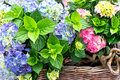 Colorful hydrangea bushes Royalty Free Stock Images