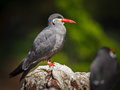 Colorful inca tern larosterna inca seabird ringed moustached boasting its powerful red bill and resting on a rock Royalty Free Stock Image