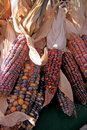Colorful Indian corn cobs Stock Photo