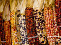 Colorful Indian corn hanging on wooden wall. Royalty Free Stock Image