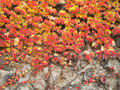 Colorful ivy on the wall Royalty Free Stock Photo