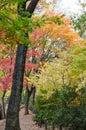 Colorful japanese maple leaf Royalty Free Stock Photo