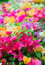 Colorful Kertas (Paper Flower) Stock Images