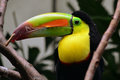 Colorful kiil billed toucan amazing in salt lake tracy aviary utah usa Royalty Free Stock Photo