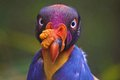 Colorful King Vulture