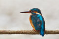 Colorful kingfisher perched on a branch Royalty Free Stock Photo