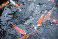 Colorful koi fish in a pond at garden Royalty Free Stock Photo