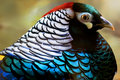 Colorful lady amherst pheasant Royalty Free Stock Images