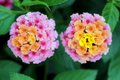 Colorful lantana camara flowers in garden Stock Images