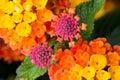 Colorful Lantana Flowers