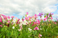 Colorful Lathyrus Royalty Free Stock Photo