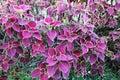 Colorful Leafs Solenostemon scutellarioides Coleus Pink Dragon Flower Royalty Free Stock Photo