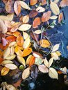 Colorful leaves floating on the peaceful river Royalty Free Stock Photo