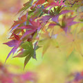 Colorful leaves of japanese maple tree in autumn and abstract autumnal background Royalty Free Stock Photos