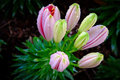 Colorful lilies Royalty Free Stock Photo