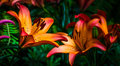 Colorful lillies in a garden Stock Photography