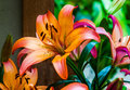 Colorful lillies in a garden Royalty Free Stock Photo