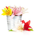 Colorful lily flowers in bucket isolated on white background Royalty Free Stock Photo