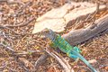 Colorful Lizard in the Desert Royalty Free Stock Photo