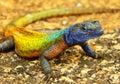 Colorful lizard at Matopos NP Royalty Free Stock Photo