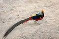 Colorful long tail pheasant walking