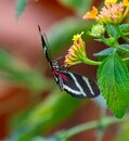 Colorful Longing Butterfly Royalty Free Stock Photo