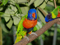 Colorful Lory Stock Images