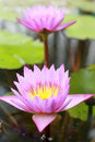 Colorful of lotus flower pink and purple Stock Photography