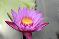 Colorful of lotus flower pink and purple Stock Images